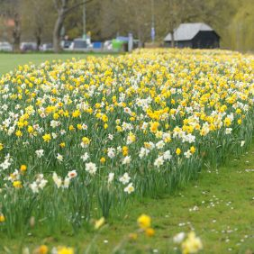Swathes of yellow daffodils and white narcissus within The Burys Field, Godalming