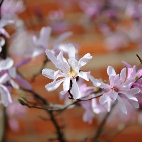 Magnolia Blossom Photo courtesy of Darren Pepe 2016