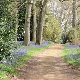 Track bordered by bluebells and mature trees and shrubs at Winkworth Arboretum