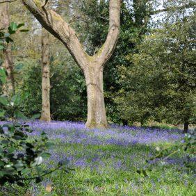 Bluebell Wood, Winkworth Arboretum, Godalming