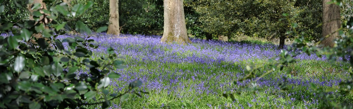 Bluebells at Winkworth Arboretum